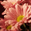 Closed up chrysanthemum — Stock Photo #28917123