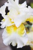 White Iris in a garden — Stock Photo