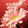 Closed up chrysanthemum — Stock Photo #29246689