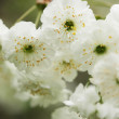 Close up on twig of blooming white flowers — Stock Photo #29505947