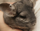 Chinchilla on hand — Stock Photo