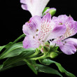 Violet flowers alstroemeria — Stock Photo