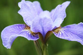 Close-up of iris flower — Stock Photo