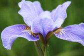 Zbliżenie: irys kwiat — Zdjęcie stockowe