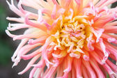 Dahlias in the flowerbed. Fine sunny day — Stock Photo
