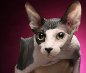 Close-up portrait of adult hairless Don Sphinx — Stock Photo