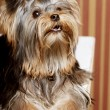 Stock Photo: Cute Yorkshire Terrier Puppy