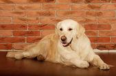 Portrait of a young male Labrador Retriever — Stock Photo