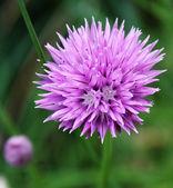 Grande fiore viola — Foto Stock