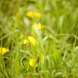 Dandelion — Photo #30676507