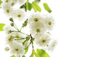 Of beautiful, blooming white flowers — Stock Photo