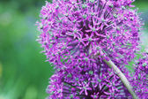 Big purple flower — Stock Photo