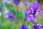 Beautiful bright irises — Stock Photo