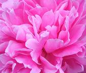 粉色牡丹 — 图库照片