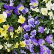 Viola flower field — Stock Photo