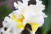 White Iris in a garden — Stock Photo