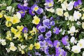 Viola flower field — Stock Photo