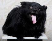 Black dog with big smile — Stock Photo