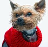 Szczenię yorkshire terrier — Zdjęcie stockowe