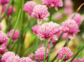 Pink clover in the field — Stock Photo
