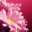 Closed up chrysanthemum — Stock Photo #39102283