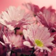 Closed up chrysanthemum — Stock Photo #39102311