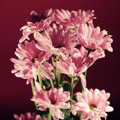 ピンクの菊の花 — ストック写真