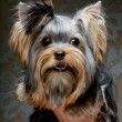 chiot mignon yorkshire terrier — Photo