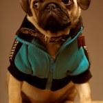 Little pug — Stock Photo #40562037
