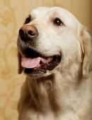 Beautiful golden retriever dog — Stock Photo