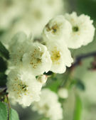 Close up on twig of blooming white flowers — Stock Photo