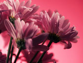 Closed up chrysanthemum — Stockfoto