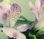 Roze bloem alstroemeria — Stockfoto