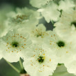 Close up on twig of blooming white flowers — Stock Photo #43216509