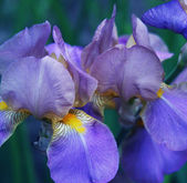 Close-up van iris bloem — Stockfoto