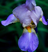Close-up of iris flower — Stock Photo