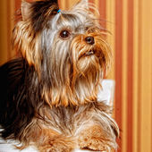 Cute Yorkshire Terrier Puppy — Стоковое фото