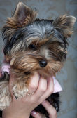 Cute Yorkshire Terrier Puppy — Foto de Stock