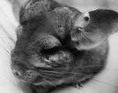Little chinchilla — Stock Photo