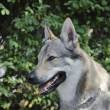 Stock Photo: CzeslovakiWolfdog