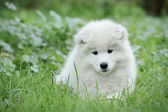 Samoyed puppy portrait — Stock Photo