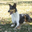 Stock Photo: Smooth Collie dog