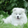 Llittle Samoyed puppy portrait in garden — 图库照片 #14405405