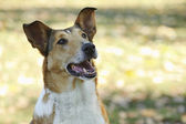 Smooth Collie dog — 图库照片
