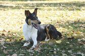 Smooth Collie dog — Stock Photo