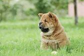 Llittle retrato de cachorro chow-chow — Fotografia Stock