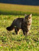 在草地上的猫 — 图库照片