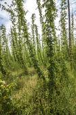Hop - taste of beer — Stock Photo
