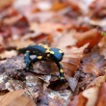 Fire salamander in green grass — Stock Photo