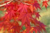 Red foliage of Acer Palmatum, commonly known as Japanese Maple — Stock Photo
